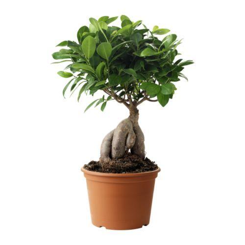 FICUS MICROCARPA GINSENG Pflanze - IKEA | ideas | Pinterest ...