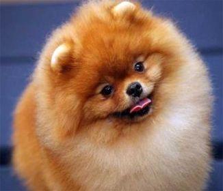 I So Want This One Too Cute Pomeranian Puppy Pomeranian