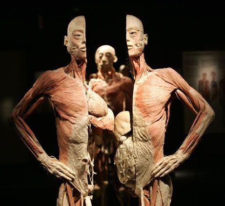 bodies the exhibition in dublin | the human body | pinterest, Muscles