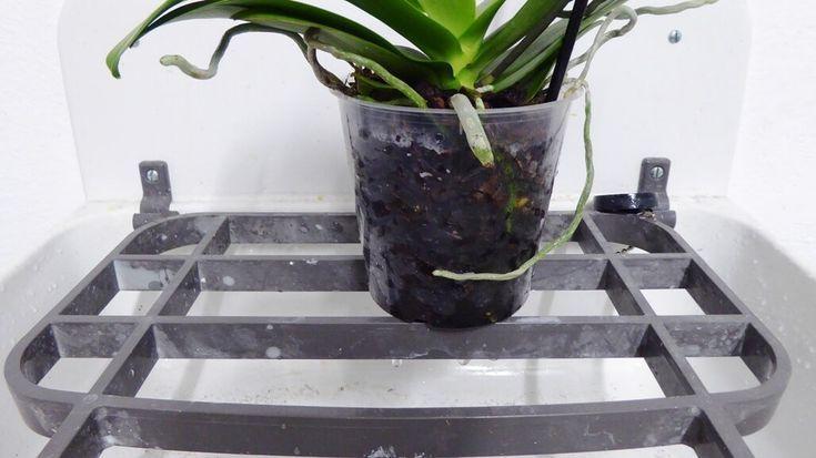 Orchideen gießen oder tauchen? Vermeiden Sie diese Fehler - orchideen-pflege.on #orchideenpflege