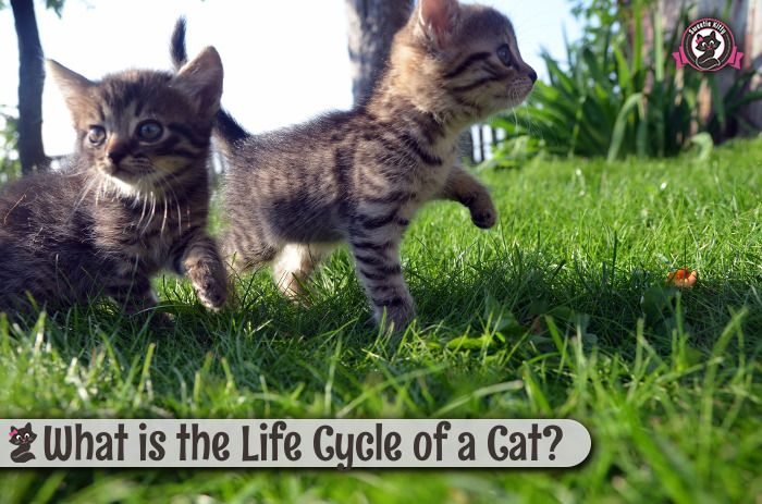 What Is The Life Cycle Of A Cat Sweetie Kitty 2020 Animals Cats Pets