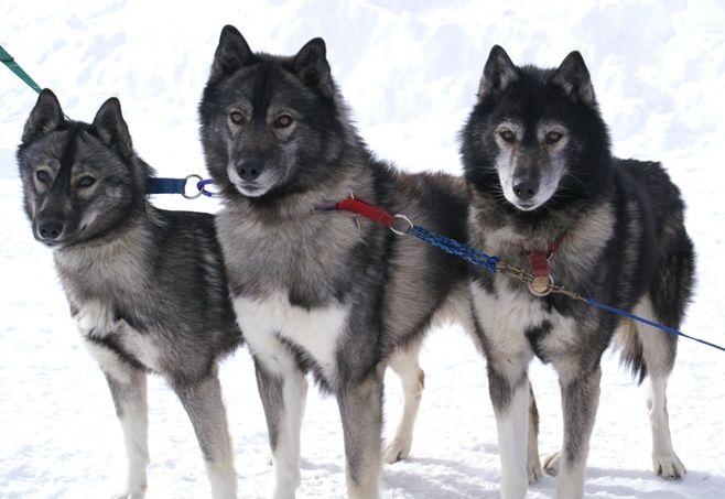 Wolf Grey Husky Agouti Husky Malamute Husky Husky