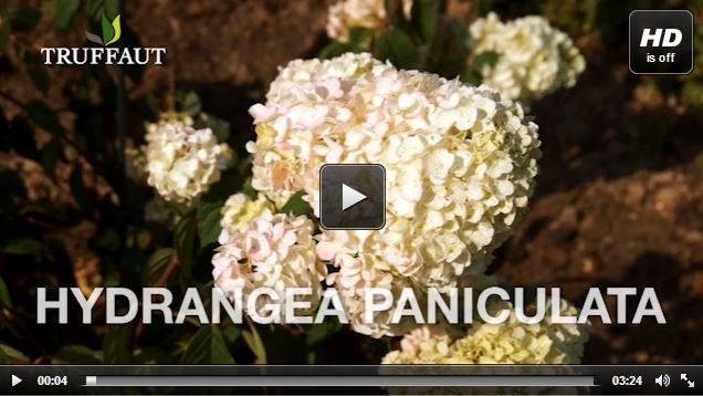 comment planter un hortensia paniculata jardin. Black Bedroom Furniture Sets. Home Design Ideas