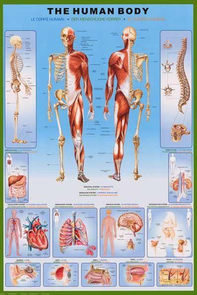 human body anatomy medical poster 24x36 medical stuff. Black Bedroom Furniture Sets. Home Design Ideas