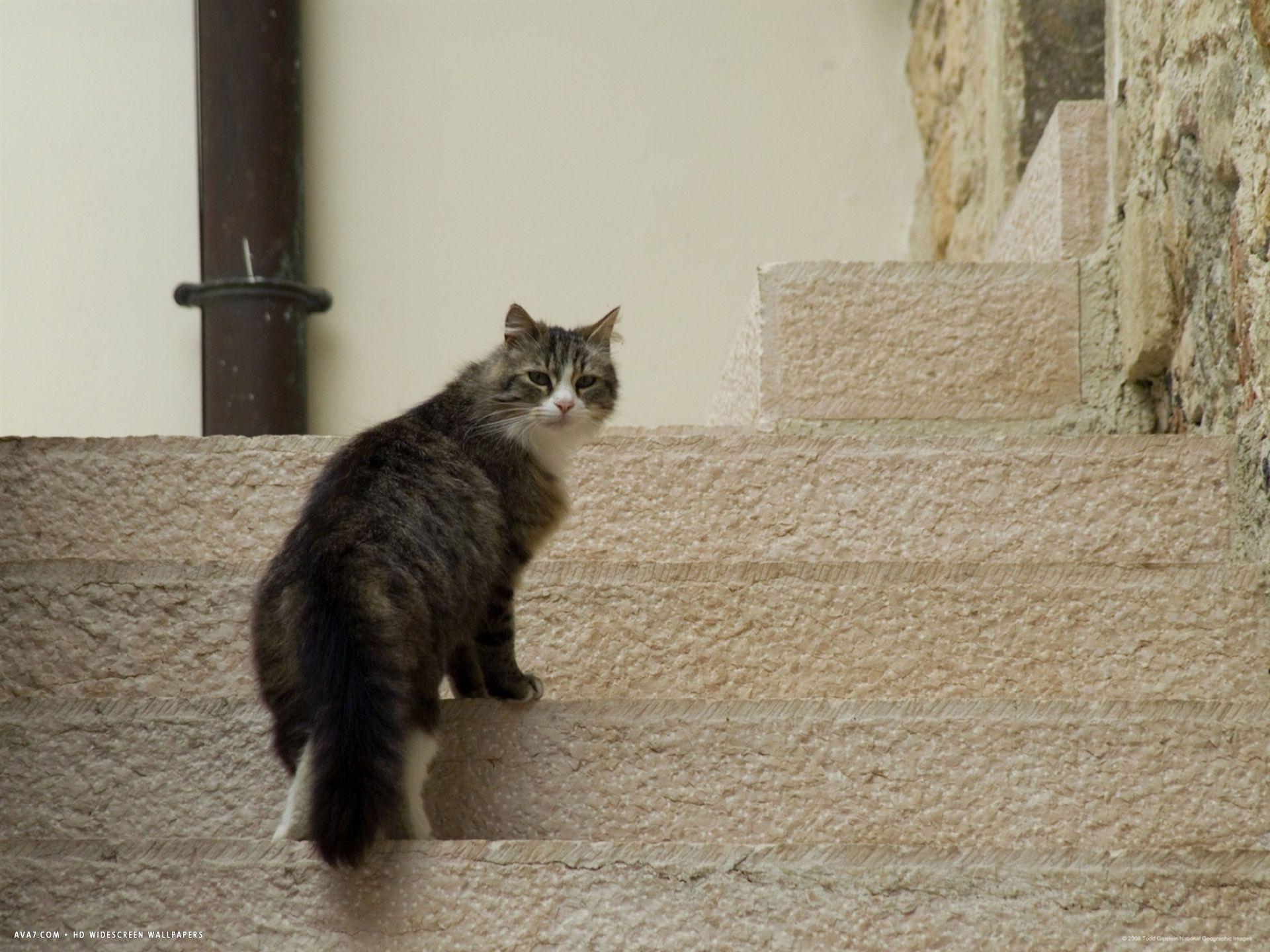 Italian Cat