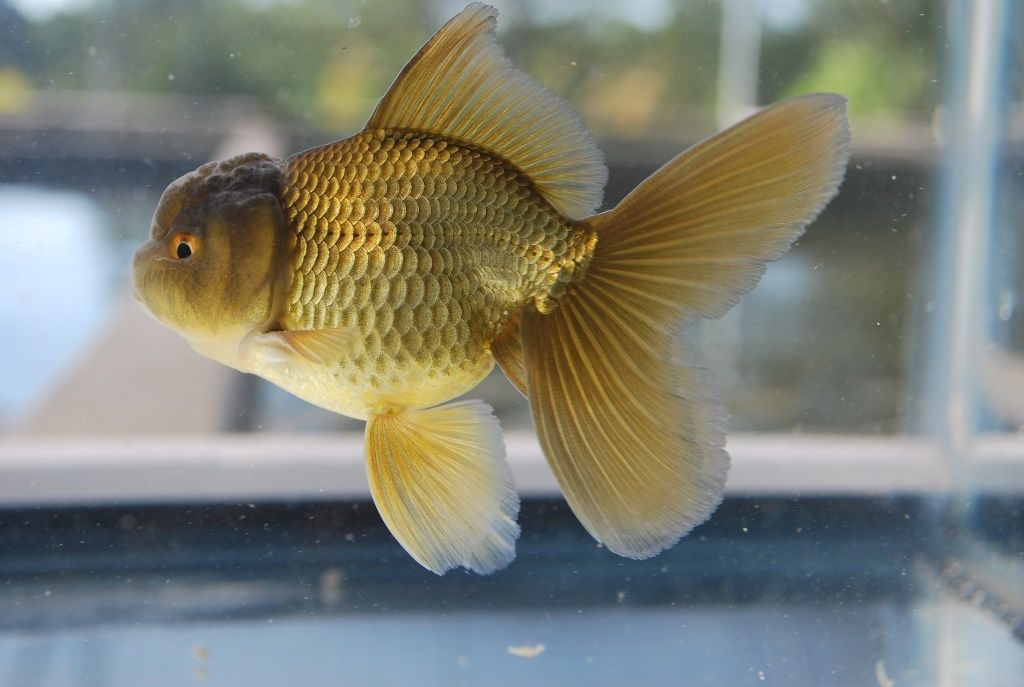 Premium Show Quality US bred goldfish for sale through Zhao's