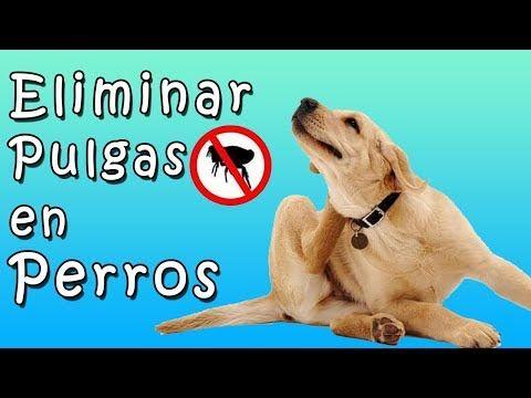 Como Eliminar las Pulgas en Perros de Forma Natural y Efectiva! 🐶 Tu Mascota te Agradecerá! - YouTube