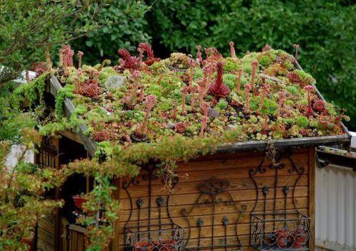 55 Hauswurz 33 Sorten Sempervivum Dachwurz Steingarten
