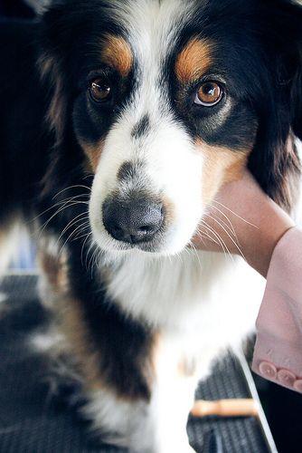 Dog 5 Aussie Dogs Dogs Australian Shepherd Dogs