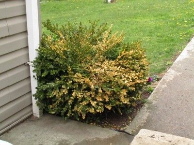 There Are A Lot Of Shrubs In The World But S One That Universally Known As Shrub For Hedging Boxwood Why Yellow Or Brown Leaves