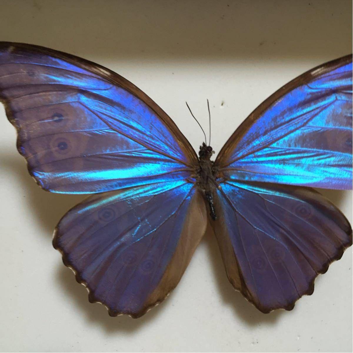 すべてAランク珍しい蝶から定番まで様々な蝶が9ps入っております。ドイツ箱大 入りの新品商品100年の歴史が ...