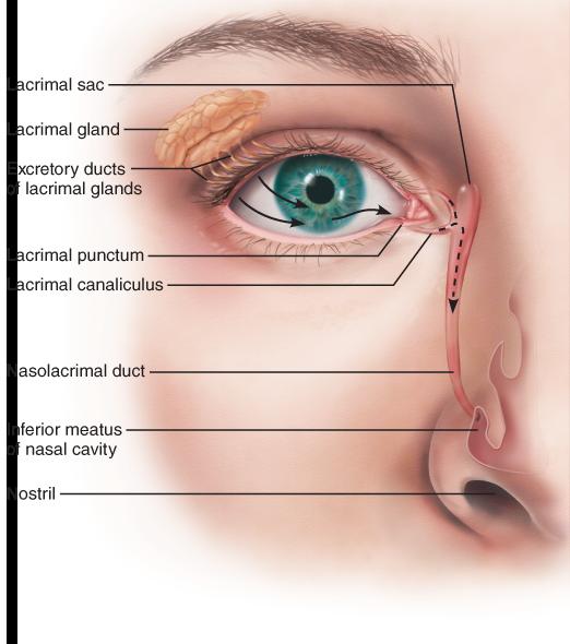 The Eye and Vision | Eye skin care, Medical anatomy, Nasal ...