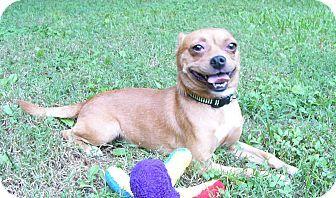 Mocksville Nc Chihuahua French Bulldog Mix Meet Bugle A Dog