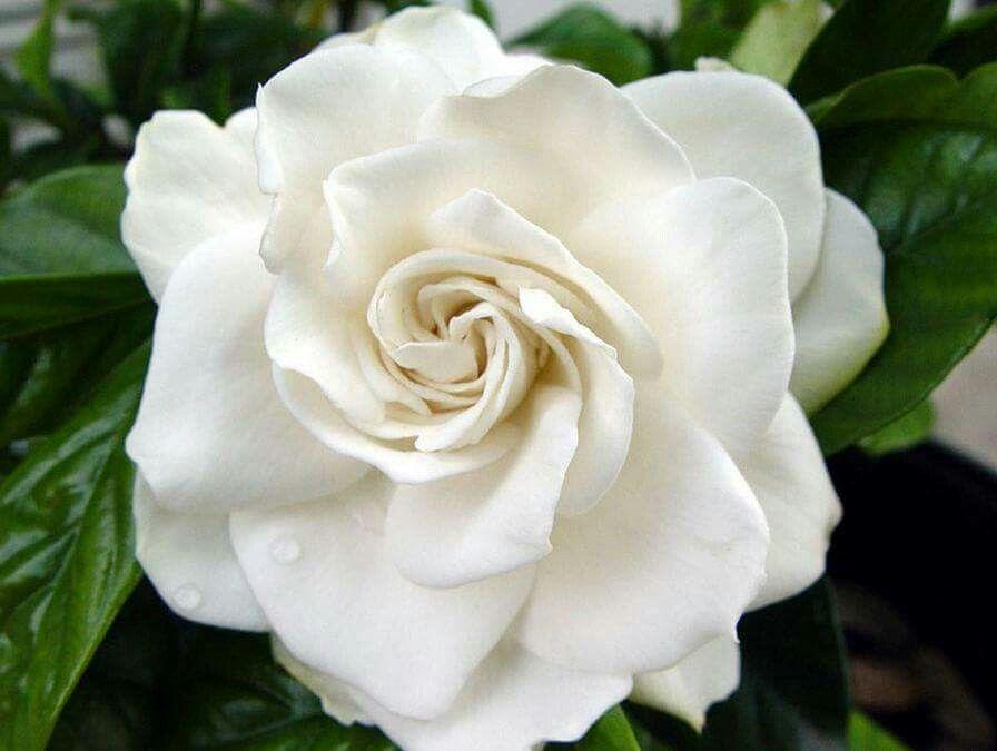 Ever Blooming Gardenia Flower Essences Gardenia Flowers