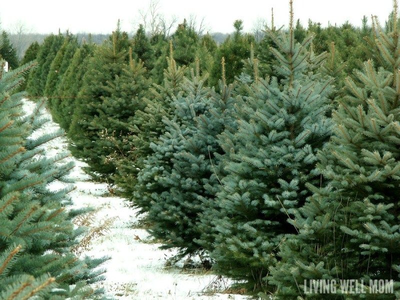 How To Keep Your Christmas Tree Alive 3 Simple Tips Live Christmas Trees Christmas Tree Farm Tree Farms
