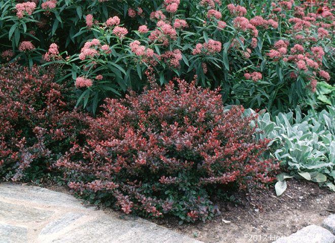 dwarf species of shrubs and evergreens