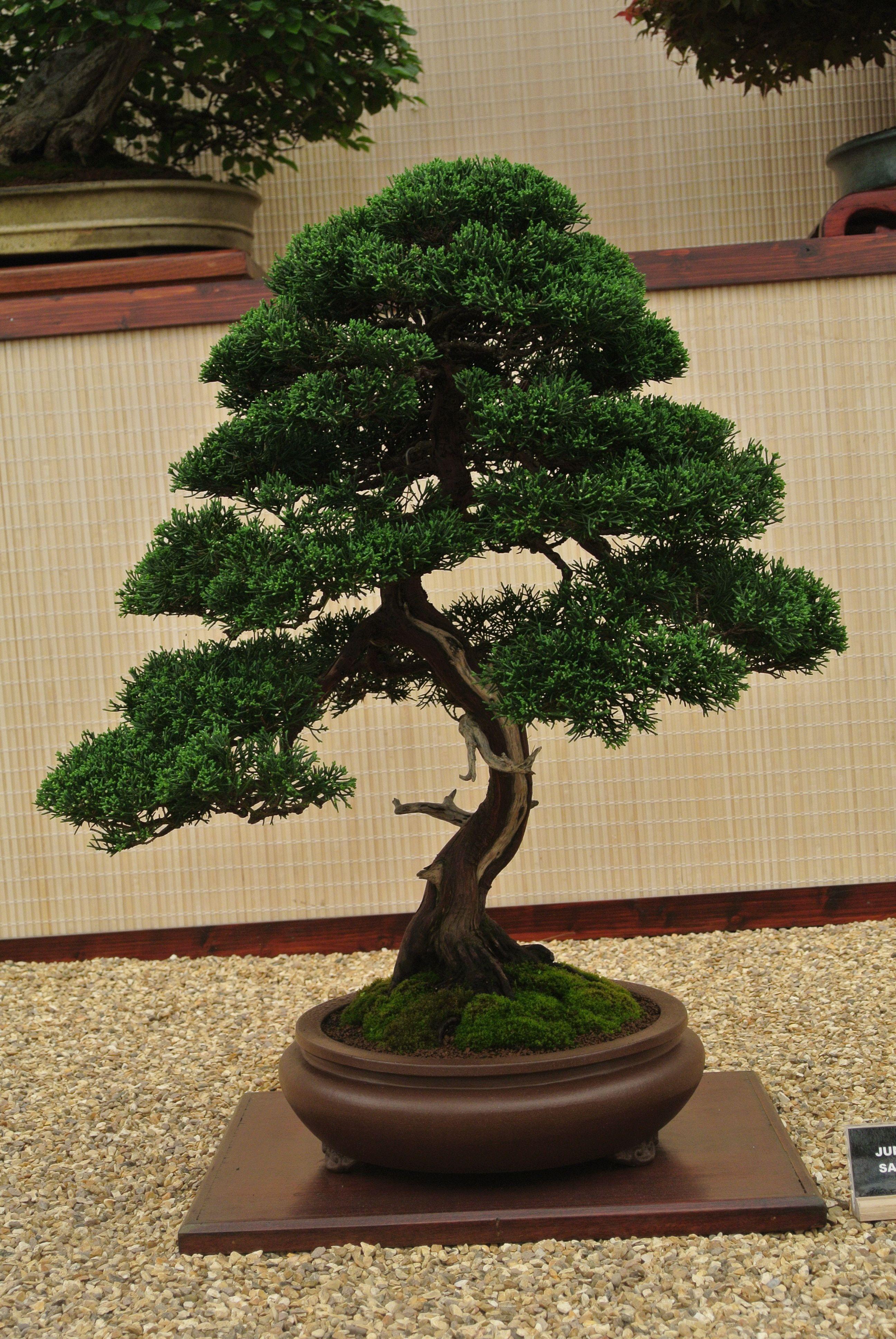 The Slanting Style In Bonsai Bonsai Tree Bonsai Ficus Bonsai