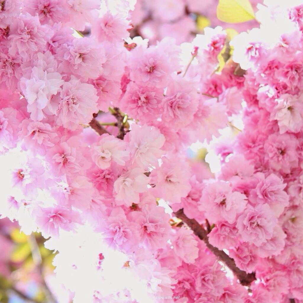 Pink Flowers On Tree Flowers Pinterest Pale Pink