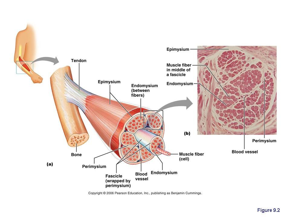 Chapter 9: Muscles and Muscles Tissue   A&P resources   Pinterest ...