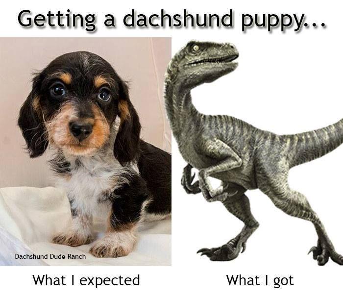 Sooo true LOL … | Dachshund memes, Funny dachshund ...