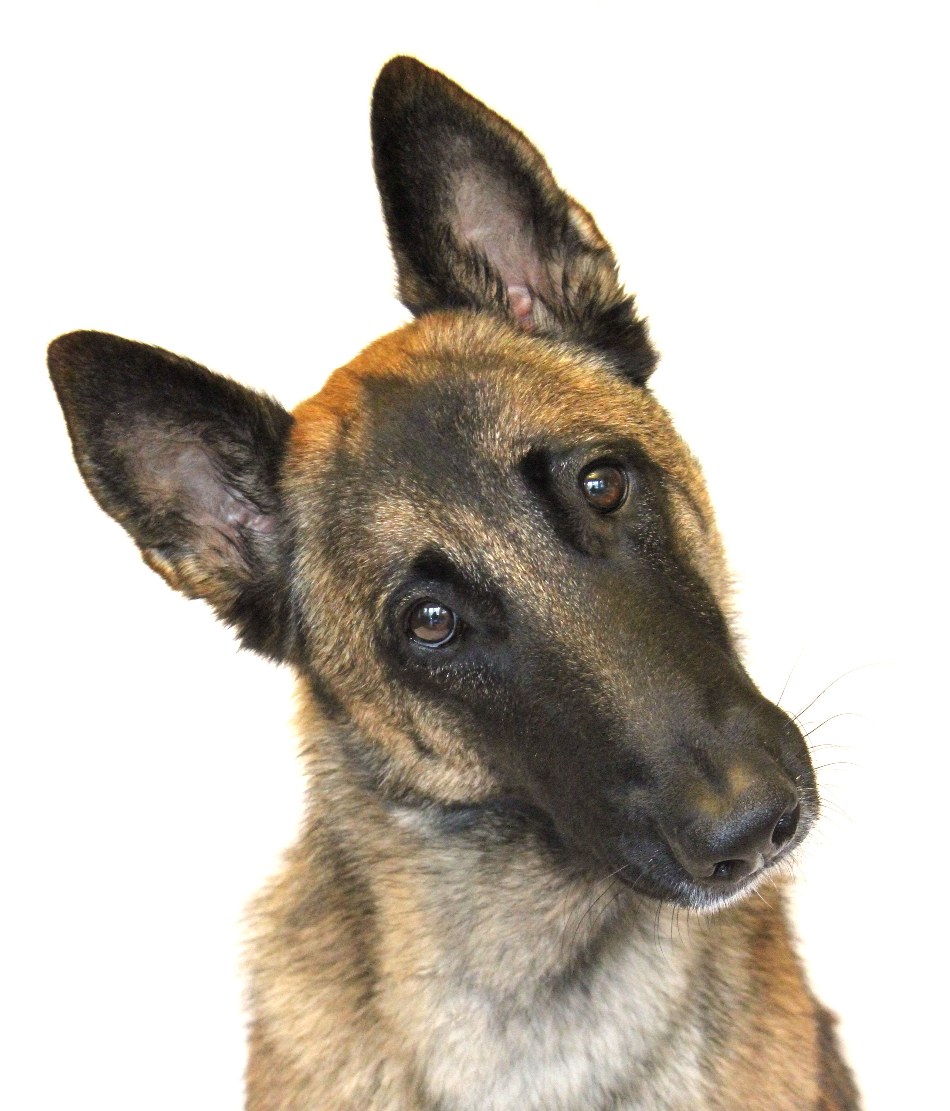 Juno Belgian Malinois With Images Malinois Dog Malinois