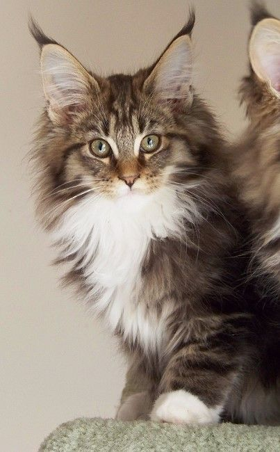 Gorgeous Maine Coon kitten http://www.mainecoonguide.com/maine-coon-temperament/