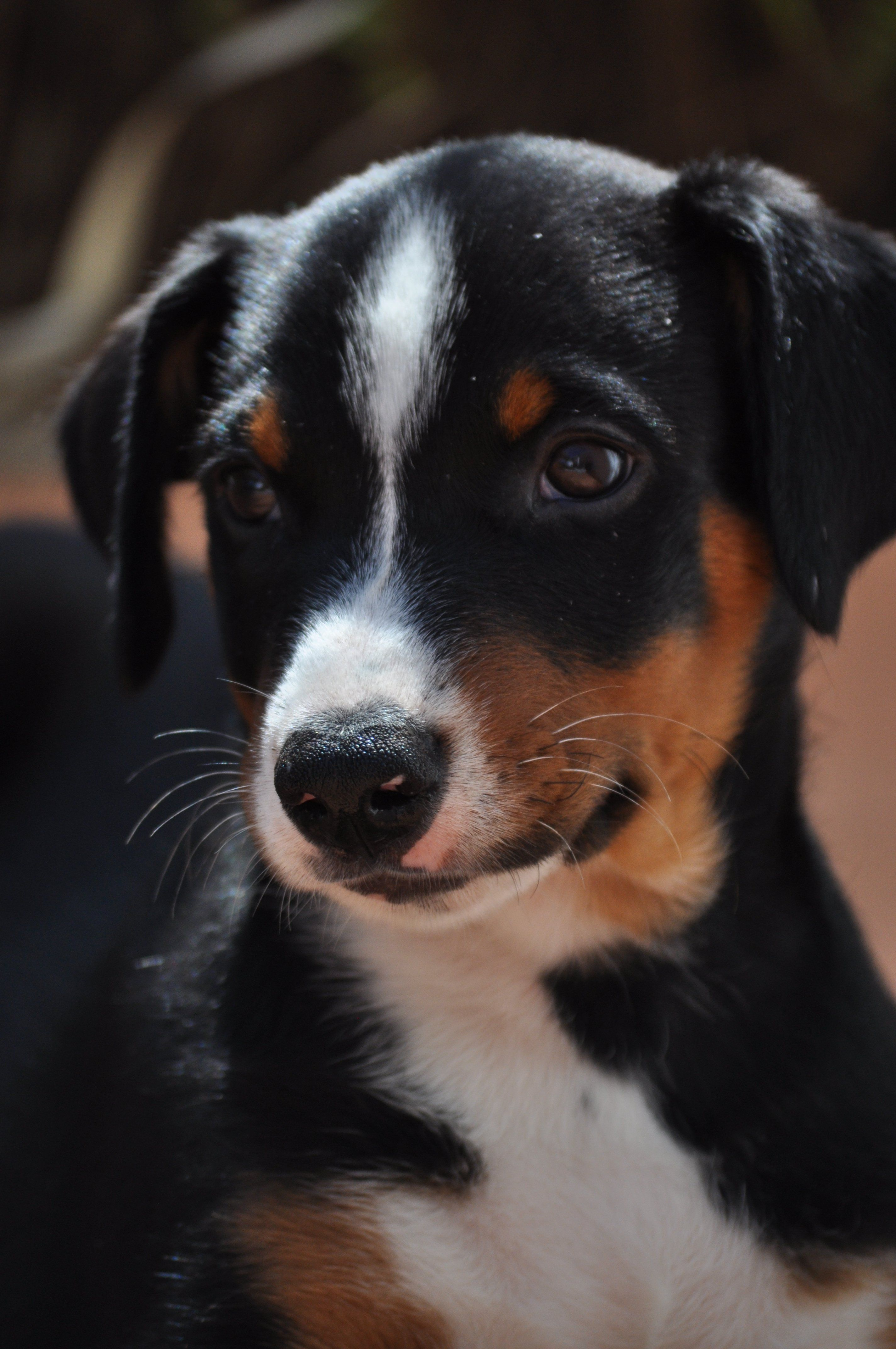 Appenzeller Sennenhund Swiss Mountain Dog Dog Breeds Dogs