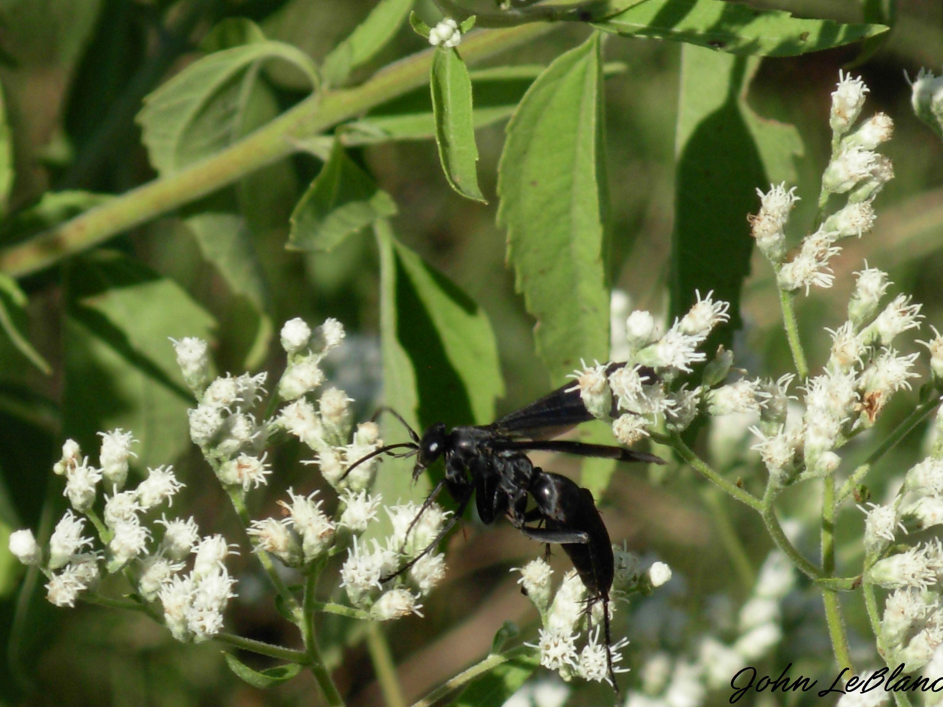 Black Flower Wasp