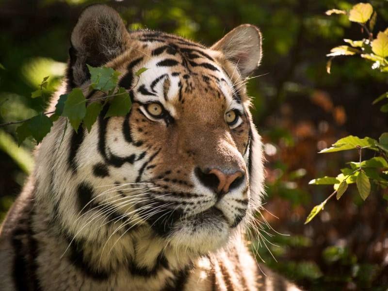 Kina skapar enorm nationalpark för att skydda amurleopard och siberisk tiger | Natursidan