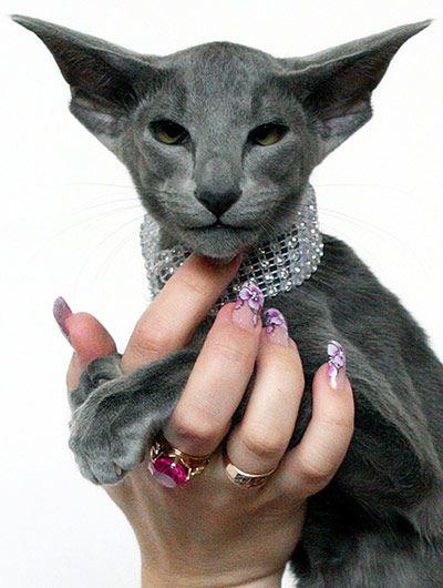 Cat Exhibition In Kyrgyzstan In Pictures Oriental Shorthair Cats Oriental Shorthair Cats