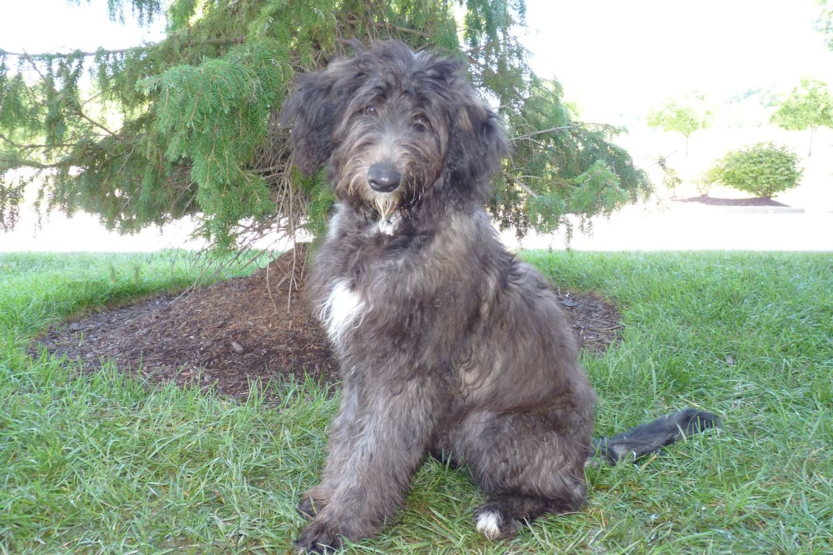 Pet Of The Week Zoey A Standard Poodle German Shepherd Mix