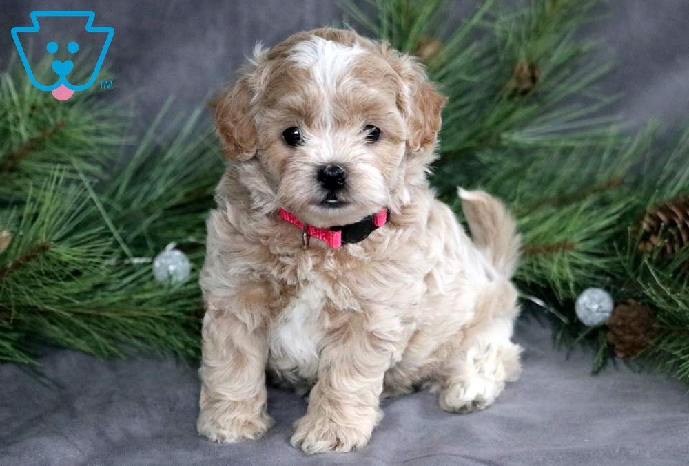 Jingles Shihpoo Puppy For Sale Keystone Puppies Puppies For Sale Shih Poo Maltipoo Puppies For Sale