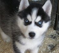 Huskies ♥ i love there eyes the look so devious