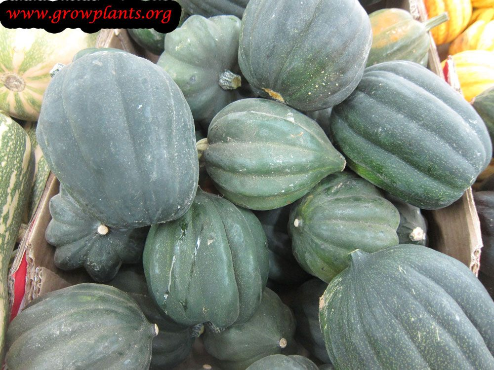 Acorn Squash Plant How To Grow Care Growing Plants 400 x 300