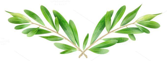 Olea Europaea Ii Tree Photoshop Tree Illustration Olive Tree