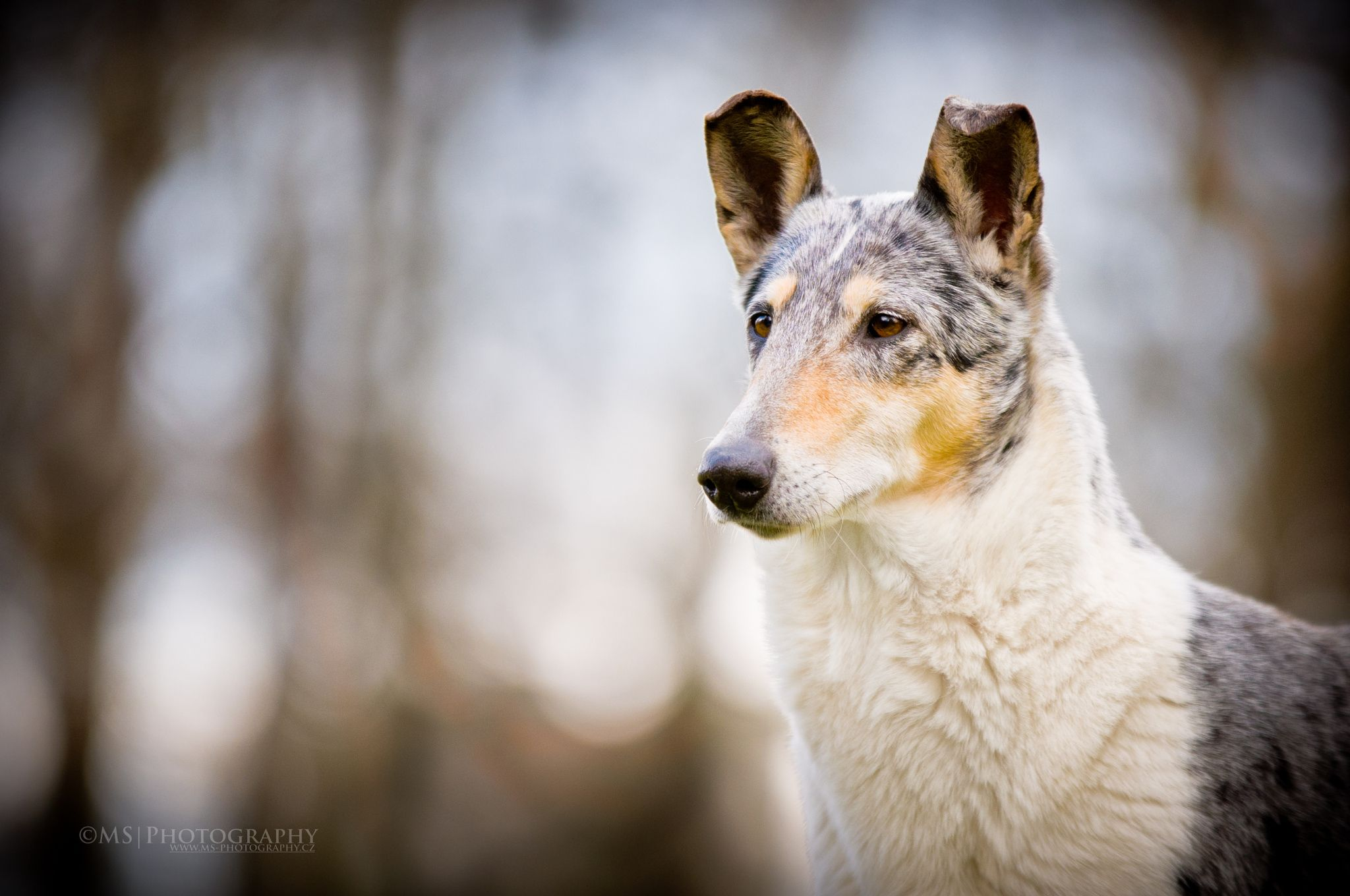 Smooth Collie by M S on 500px
