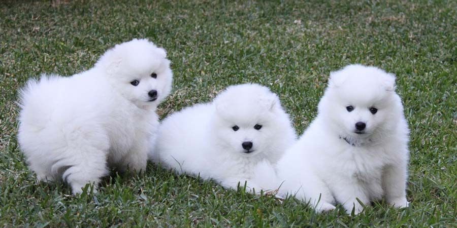 Japanese Spitz Puppy Picture Puppys Japanese Spitz Dogs Puppy