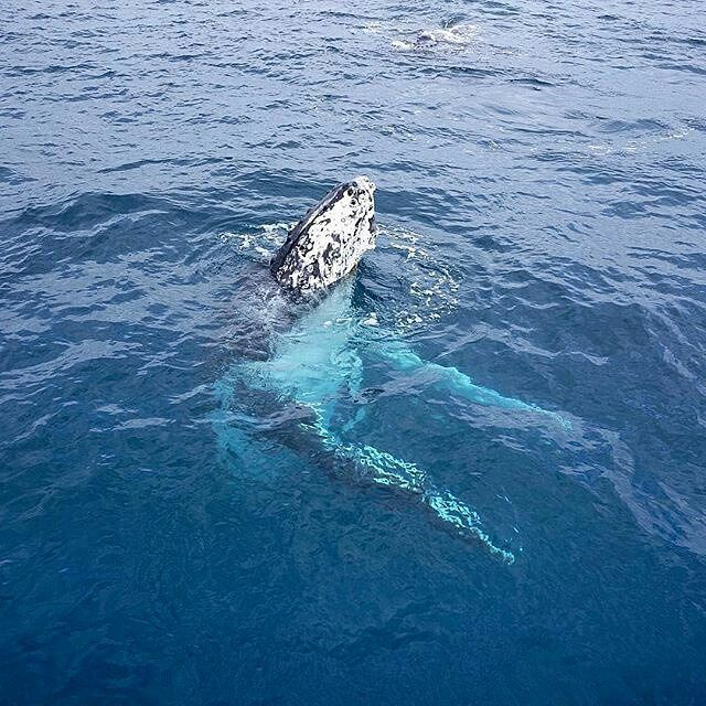 This humpback whale is doing a bit of 'skyhopping', where they poke their heads out of the water to see what is going on around them. #thisisqueensland by @jaxonark on the @visitfrasercoast #whalesherveybay