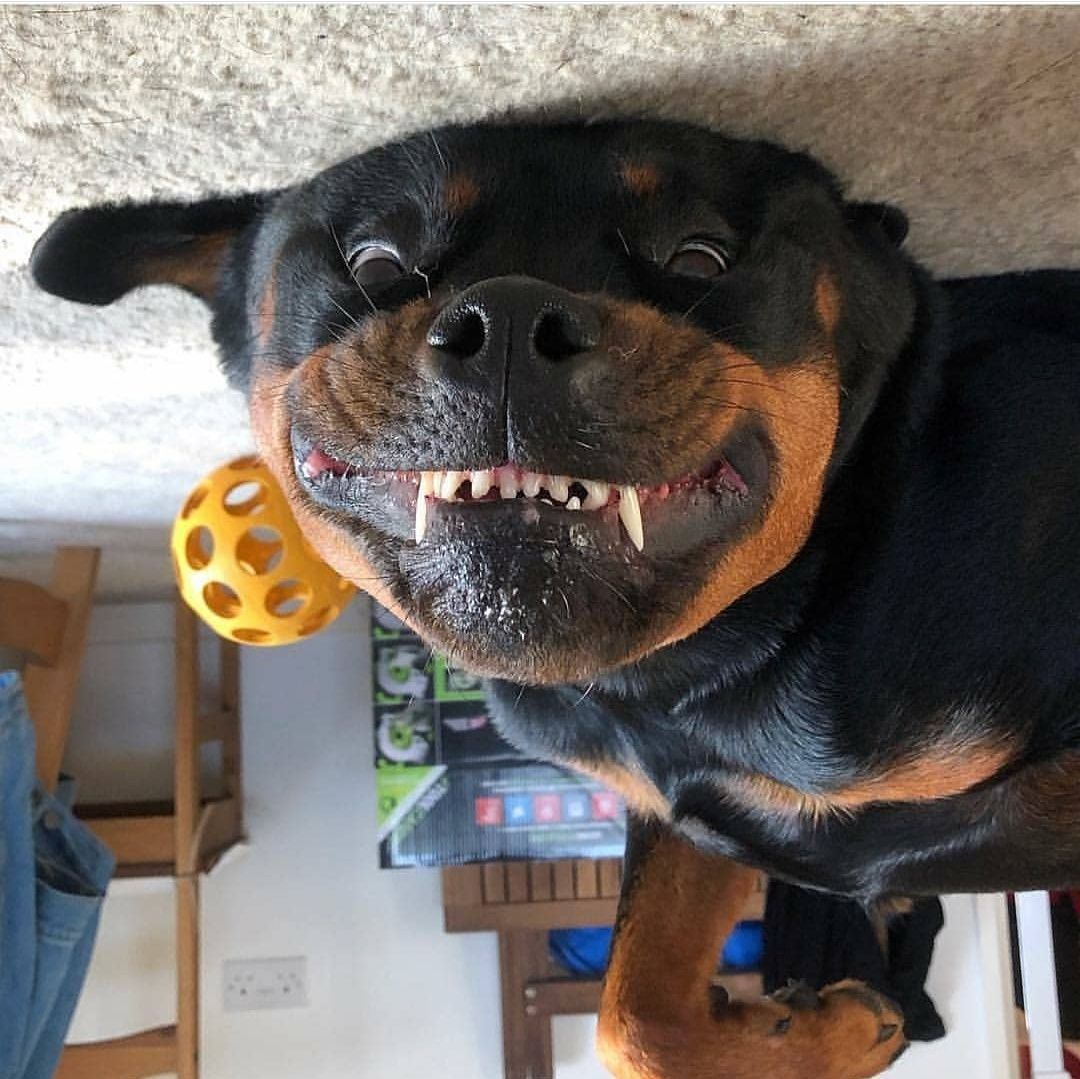 14 Hilarious Pictures Of Rottweilers To Brighten Your Day | Page 2 of 3 |  PetPress | Rottweiler pictures, Rottweiler funny, Funny dog pictures