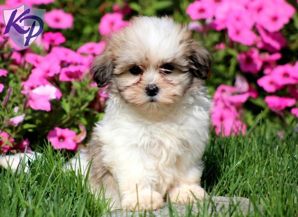 Puppy Finder Find Buy A Dog Today By Using Our Petfinder Puppy Finder Buy A Dog Teddy Bear Puppies