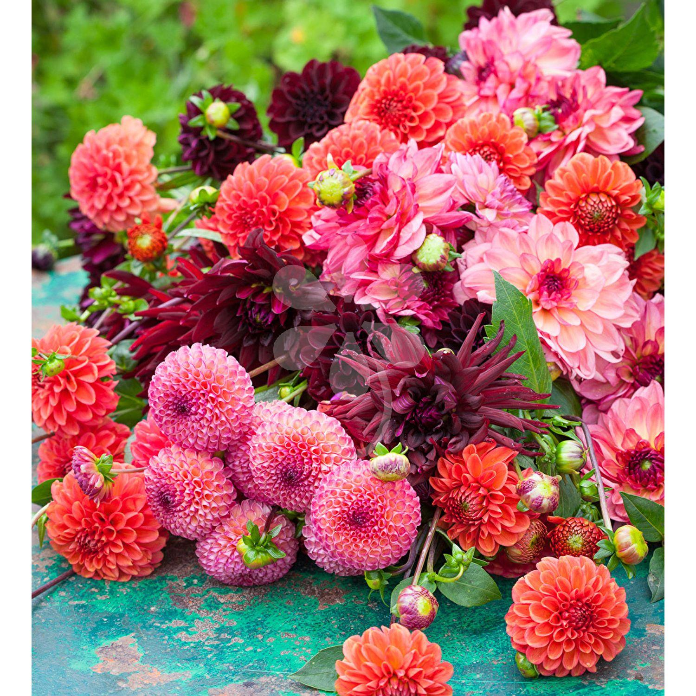 Cinnamon Spice Dahlia Collection Flower Seeds Dahlia Flower Arrangements Planting Bulbs