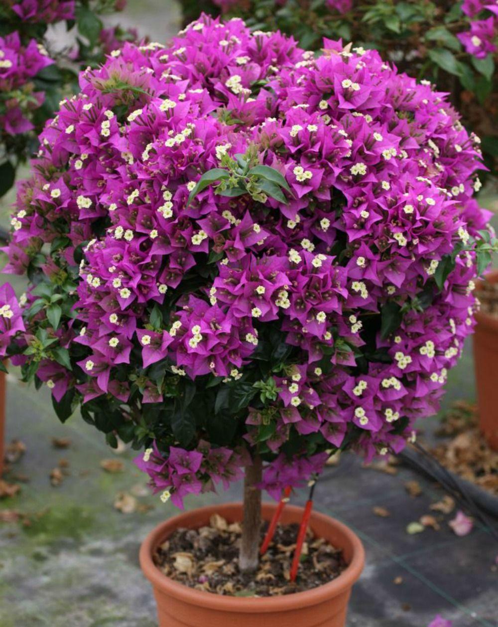 Plantada em vaso jardinagem gardening pinterest for Bouganville in vaso