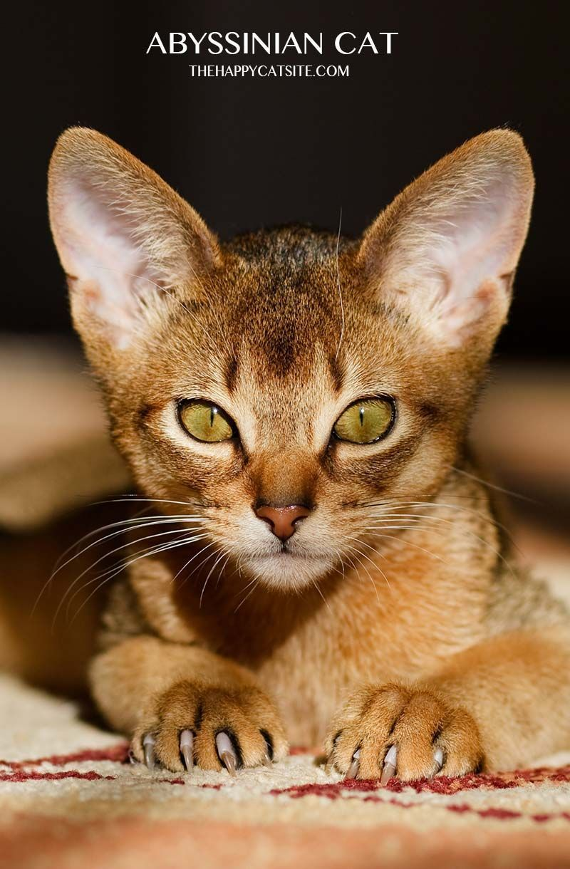 Abyssinian cats - a guide to personality, care and health ...