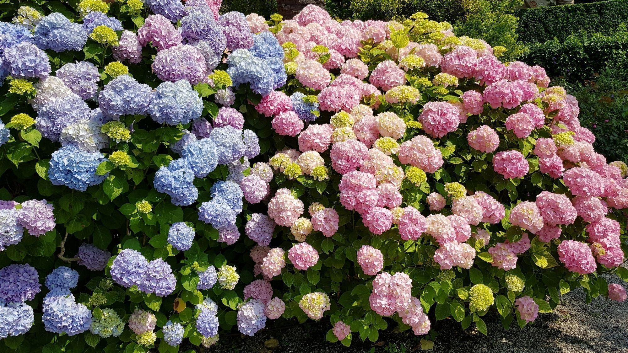 Hortensie Hortensien Hydrangeaceae Hortensienvermehren Hortensien Hortensien Vermehren Ceae Hortensien Pflanzen Pfle In 2020 Hydrangeaceae Hydrangea Grapes