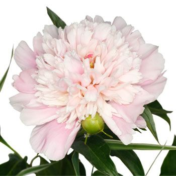 Blush Peony Flower August Delivery | FiftyFlowers.com