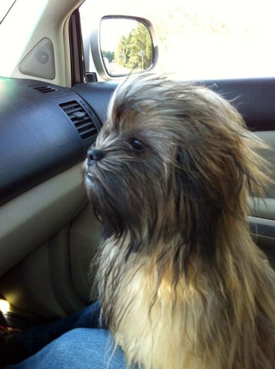 There S A Wookie In Our Front Seat Cute Animals Animals Dogs