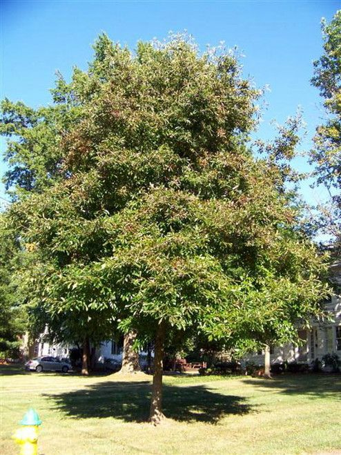 Blackgum Sourgum Black Tupelo Tree 10 Seeds Shrub Tree Tupelo Tree Organic Gardening Books Shrubs