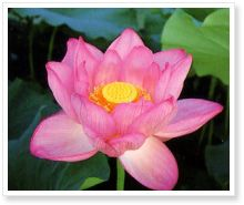 A picture Book of Lotus Flower | 愛西市