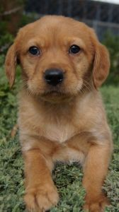 Cavador Puppies For Sale Pines Pets Puppy Breeds Puppies Beautiful Puppy