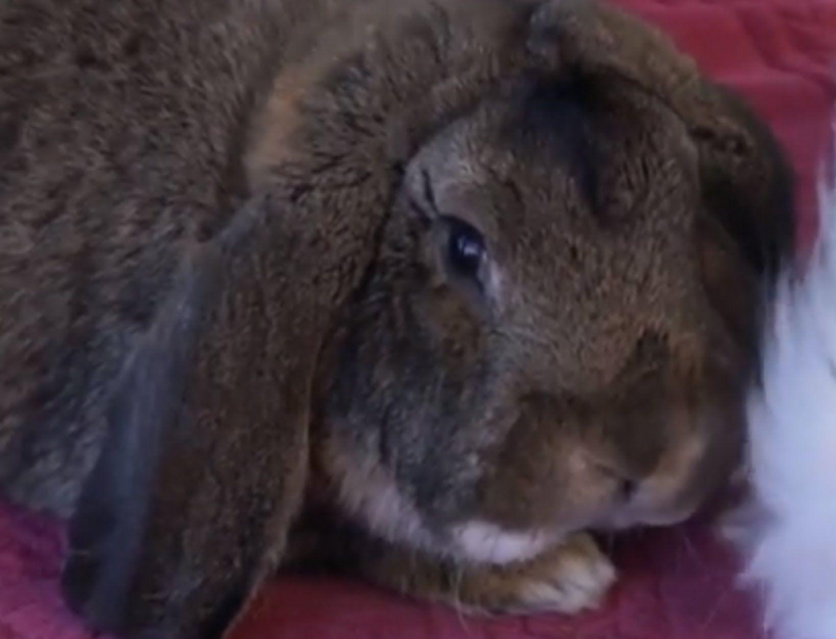 CONEJO - El conejo anciano. ¿Cómo es? ¿Qué cuidados necesita?